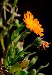 FlorNrnja (Dany MPC) Tags: flores flower colors contrast amarillo yellow black beautiful bellas