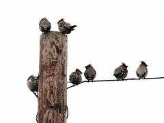 Waxwings on a Wire (Mark BJ) Tags: waxwing bombycillagarrulus birds wire post oldham manchester uk chadderton lookout crest pinkbeige sliky plumage dropsofredsealingwax blackthroat