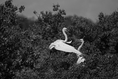 Welcome Home, Handsome (OneEighteen) Tags: egrets welcome home nest blackandwhite bw hellohandsome
