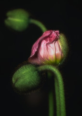 Unfolding (glo photography) Tags: gloriasalvanteglophotography buds fleur flor flora flower flowers green icelandpoppy indoors macro opening petals pink plant poppy studio unfurling unfolding