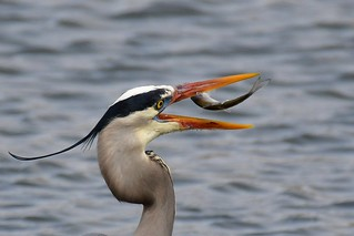 Fishing was good for this great blue heron
