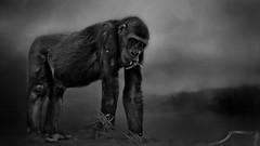 Come Join Me For Lunch  #1630 (Christina's World aka Chrissie Bee) Tags: zoo animal wildanimal gorilla texture nature creative blackandwhite bw black white fur eyes eating monochrome sandiego california