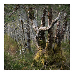 Birch 3 (gerainte1) Tags: scotland torridon birch trees forest colour woods