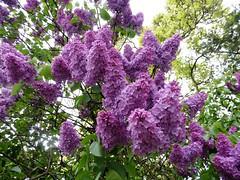 Lilac (Hannelore_B) Tags: flieder lilac baum tree