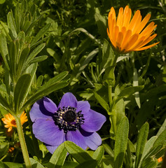 Anemone and Daisy (J_Richard_Link) Tags: africandaisy anemone flowermacro nature thebulbguy