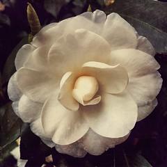 Jasmim (rvcroffi) Tags: nature mextures stackables white branca branco macro close flor flower jasmine jasmim