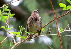 Song sparrow (westietess) Tags: moresbypond birds april