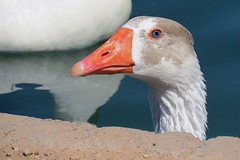 Goose Eye (5of7) Tags: goose eye bird closeup encantopark phoenix arizona goosyeye gooseeye bokeh dof nopeople outdoor animal blueeye orange white blue beak neck head canon powershot sx50 beautiful portrait lovely geese waterfowl anserini anatidae anser fav 10fav 16fav