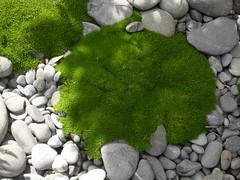 Cute Moss (Steve Taylor (Photography)) Tags: moss grey green selectivecolour stone pebble rock newzealand nz southisland canterbury christchurch cbd city plant shadow sunny sunshine dappled