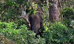 """NEPAL, Royal Chitwan-Nationalpark, Er sieht mich und ich ihn - und jetzt  ? , 15403/8184 (roba66) Tags: elefanten elephants elefantencamp reisen travel explore voyages roba66 visit urlaub nepal asien asia südasien """"royal chitwannationalpark"""" nationalpark landschaft landscape paisaje nature natur naturalezza tier tiere animal animals creature"""