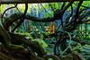 DSC_1596 (sayo-tsu) Tags: 藤 wisteria 牛島のフジ 春日部市 埼玉県 kasukabe saitama 特別天然記念物