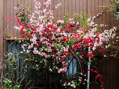 wallflower (takanorimutoh) Tags: flower wall colorsinourworld