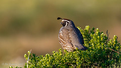 California Quail [Explored] (Bob Gunderson) Tags: birds california californiaquail callipelacalifornica locationofphoto northbay northerncalifornia pointreyes uplandbirds explore