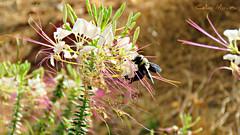 (biologocelio) Tags: biologocelio fotobaturalismo canon sx60 inseto insect insecta arthropoda hymenoptera apidae xylocopinae xylocopini xylocopa abelha mamangava bee bumblebee