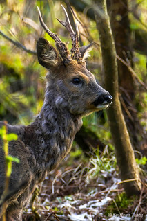 Capreolus capreolus / Roe deer / Европейская косуля / Rådyr