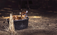 Deer calf (Y*Y Photography) Tags: nature calf deer brown bright nikkor nikon fx cute baby animal mammal
