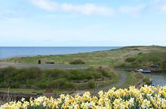 Seaton Sluice daffodils (DavidWF2009) Tags: northumberland seatonsluice daffodils harbour