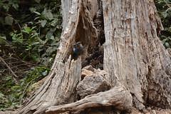 Steller's Jay (amdubois01) Tags: stellersjay cyanocittastelleri cyanocitta jay bird ornithology california