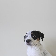 Ophelia (Immature Animals) Tags: ophelia puppy spot black tan white cute short square petco petfinder