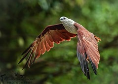 Brahminy Kite (Modestus Lorence) Tags: birdpark singapore ii is f4 300mm markii 1dx canon inflight bif brahminy kite eagle birds animals