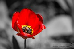Coquelicot (JadeNoire - Interlude Photo) Tags: couleur rouge noiretblanc noiretblancsélectif noirblanc fleur flower nikon d7100