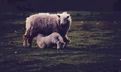 Breakfast of Champions. (elam2010) Tags: sheep lambs shadow light dawn morning spring dew countryside rural panasonic wirral lumix gx7 olympus animals nature feeding