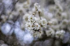 Prunus spinosa (ΞSSΞ®®Ξ) Tags: ξssξ®®ξ pentax k5 2017 spring countryside lazio italy flowers bokeh outdoor blossom light depthoffield plant blackthorn prunusspinosa smcpentaxm50mmf17
