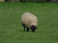 P1000807 (ValeFlora) Tags: pecora sheep