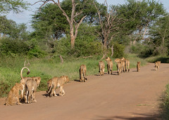 Strolling with the whole family (jaffles) Tags: southafrica südafrika krugernationalpark krüger natur nature wildlife safari holiday olympus raubkatze predator pride rudel lion löwe family familie