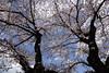 津久井の桜
