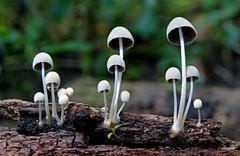 Mycena. sp (Bernard Spragg) Tags: mycena nature fungi mushroom toadsstool lumixfz1000 mothernature