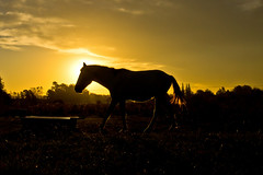 When the sun goes down (Wal Wsg) Tags: when sun goes down whenthesungoesdown alcaerelsol al caer el sol horse caballo potra yegua equino sunset atardecer canoneosrebelt3