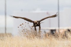 Juvenile Golden Eagle on the hunt