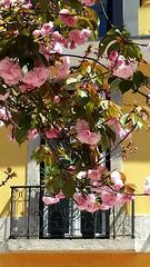 Primavera em Lisboa (daniel.virella) Tags: spring lisboa lisbon window flowers portugal balcony picmonkey