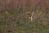 R17_1095 (ronald groenendijk) Tags: cronaldgroenendijk 2017 asioflammeus rgflickrrg animal bird birds birdsofprey groenendijk nature natuur natuurfotografie outdoor owl owls ronaldgroenendijk roofvogels shortearedowl velduil vogel wildlife