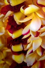 PLUMERIA'S_III (paulosabado) Tags: maui hawaii plumerias flowers lahaina