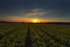 Meeting the sunrise. (dagomir.oniwenko1) Tags: laurencekirk bent daffodil sunrise color canon canoneos7d sigmadc1750 edis08edis08 scotland flowers landscape nature platinumheartaward