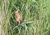 Oostvaardersplassen (Hans van der Boom) Tags: nederland netherlands ijsselmeerpolders flevopolder oostvaarderplassen animal bird roerdomp riet reed bittern lelystad nl