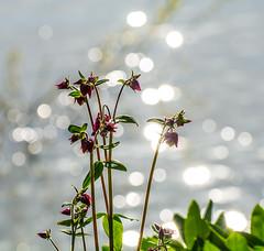 River Charm. (Omygodtom) Tags: am existinglight explorer outdoors river sparkle natural wildlife wildflower wild downtown nikon70300mmvrlens nature nikon nikkor digital dof d7100 bokeh