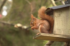 Red Squirrel At Benmore Botanic Gardens 3 (Sybalan,) Tags: benmoregardens argyll rbge red squirrel trees tranquility httpsybalanphotographyweeblycom cowal canon hide feeding feeders 760d 55250mm mammal outdoor cute furry