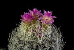Neoporteria nidus f. senilis (clement_peiffer) Tags: neoporteria nidus f senilis flowerscolors d7100 105mm nikon cactus fleurs flower cactaceae succulent peiffer clement
