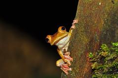 Harlequin Flying Frog (Rhacophorus pardalis) (Sky and Yak) Tags: harlequin flying frog rhacophorus pardalis kubah sarawak borneo malaysia amphibian nature