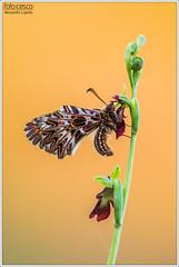 Zerynthia polyxena on Ophrys insectifera (Alessandro Laporta Photographer) Tags: zerynthiapolyxena ophrysinsectifera alessandrolaporta laportaalessandro laporta fotocesco alessandrolaportaphotographer alessandrolaportaphotography polissena southernfestoon