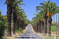 Marananga, Seppeltsfield's road (blauepics) Tags: australia australien south südaustralien landscape landschaft panorama agriculture landwirtschaft german deutscher settler siedler barossa valley tal marananga seppelt seppeltsfield vine wine vineyard weinanbau palm tree palme road strasse