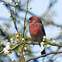 sweet and wild (1crzqbn) Tags: depthoffield blossoms naturaleza sun light bird red plum spring bokeh finch 1crzqbn garden