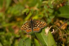 Marsh Fritillary butterfly (jon lees) Tags: marshfritillary butterfly scabiosa devils bit scabious murloughnnr