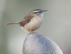 Carolina Wren (Diane G. Zooms---Mostly Off) Tags: wren carolinawren wrenpics wrenphotos wildbirds longislandbirds birdsoflongisland dianegiurcophotography bird happy easter diane naturethroughthelens