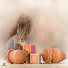 The a from acorns (Geert Weggen) Tags: red nature animal squirrel rodent mammal cute look closeup stand funny bright sun backlight staring watching hold glimpse peek up tail message communication letter woodenframe capitals numbers learning school child education learn baby word alphabet teacher ball book acorn geert weggen hardeko sweden bispgården jämtland