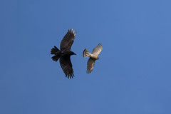 Crow inviting a Sparrowhawk to Leave the Area (queeny63) Tags: elements