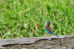 blue waxbill (Cybergabi) Tags: tanzania africa mikuminationalpark safari vacation 2016 animals bird wildlife game bluewaxbill